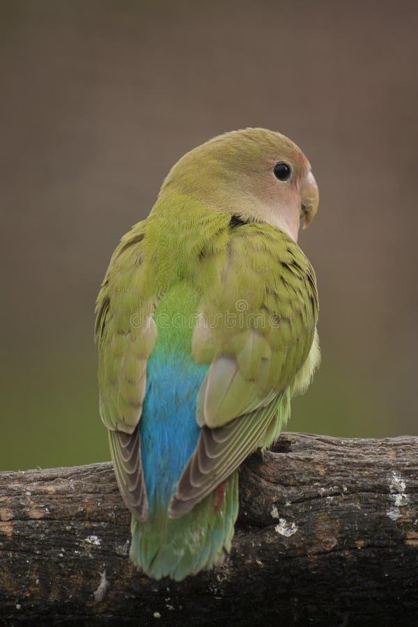 Love bird. Single love bird sitting on a branch stock photos