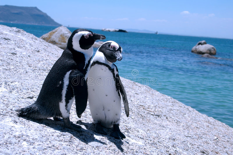 Love-birds. Two penguins sit on a rock and show affection for each other. At the back ground is False Bay. The picture was taken at Boulders Beach in Simon's stock images