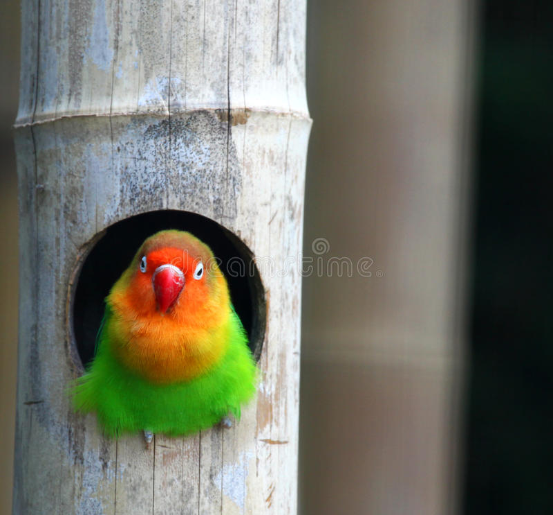 Love birds , Agopornis fischeri stock photography