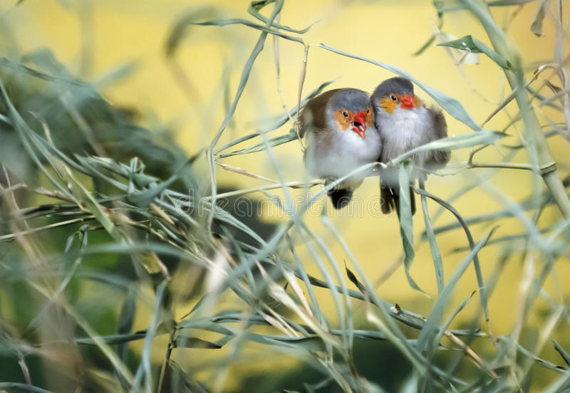 Love Birds. A pair of colorful love birds snuggling on a tree branch stock photo