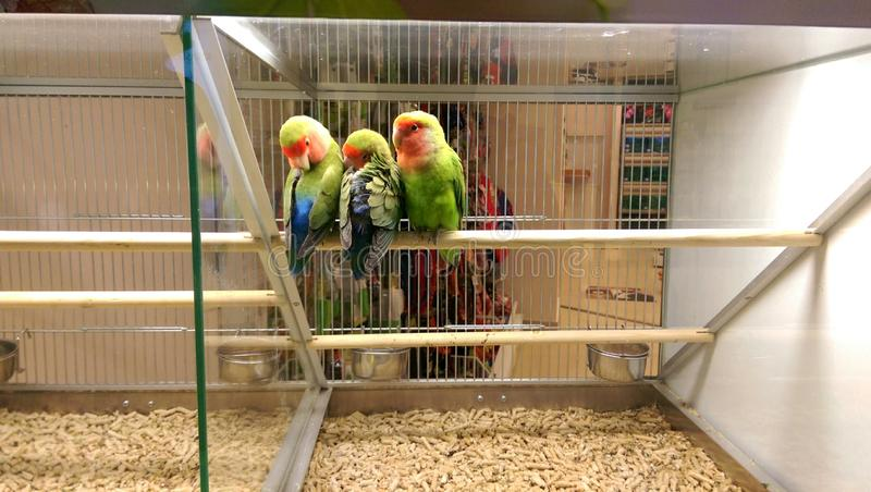 Love birds in pet shop. Love birds sleeping in a cage- pet shop stock images
