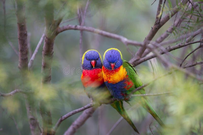 Love Birds in a soft bush setting royalty free stock photos