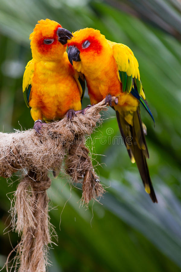 Love Birds. Two love birds kissing on a perch stock image