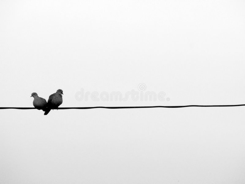 Love birds on a wire. Two pigeons love birds sitting on a wire