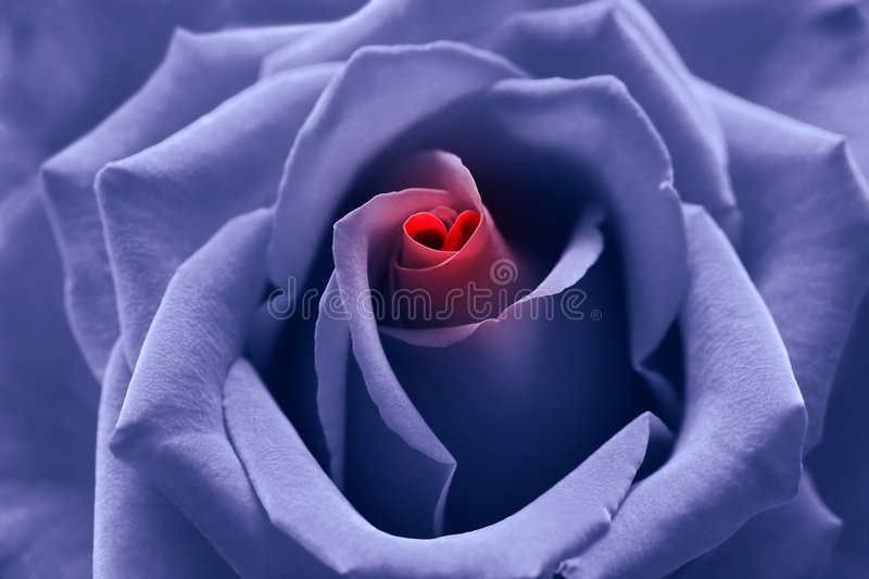Love Birth Blue Toned Rose With Heart Symbol Stock Photo Image Of