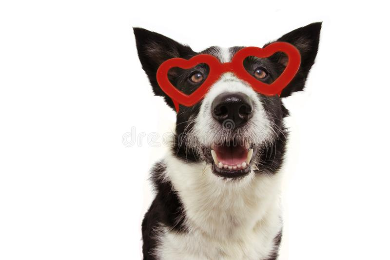 Love border collie dog with red heart glasses. san valentine`s day concept. Isolated on gray background.  stock photo