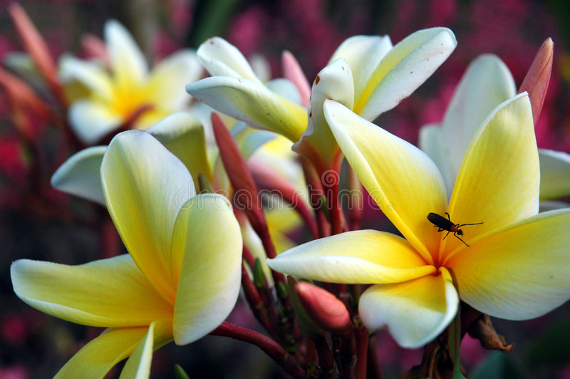 Love bug on plumeria. Love bug on a plumeria flower stock images