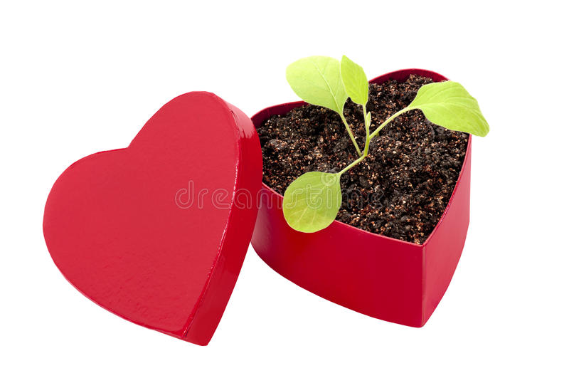 Love Can Grow. Beautiful scarlet red heart shaped box with a little green plant in soil showing the plant as love and how it is growing with the concept of the stock photo