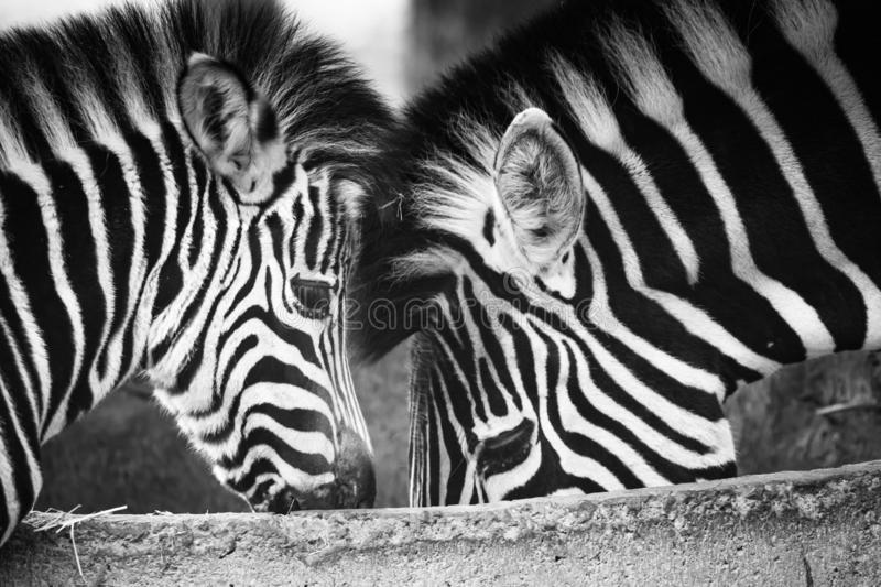 Love and care between mother and child zebra stock image