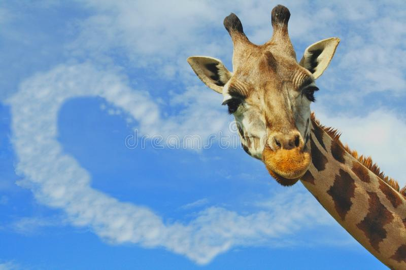 Download Love Concept Giraffe And Heart Shaped Cloud Stock Image - Image of environment, close: 12296617
