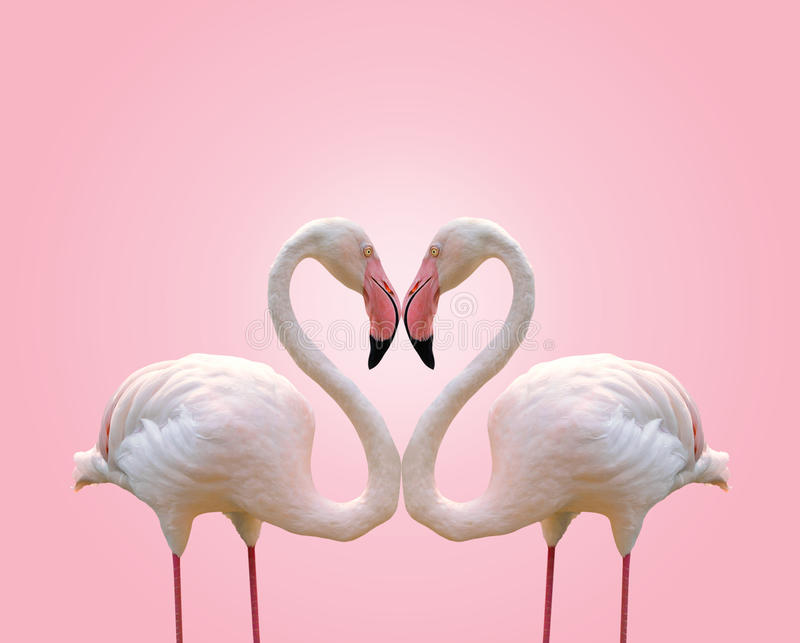 Love concept shape heart of couple flamingo on pink background royalty free stock image