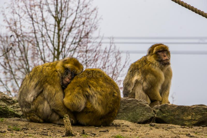 Love couple of barbary macaques hugging each other, animal family, endangered animal specie from Africa royalty free stock image