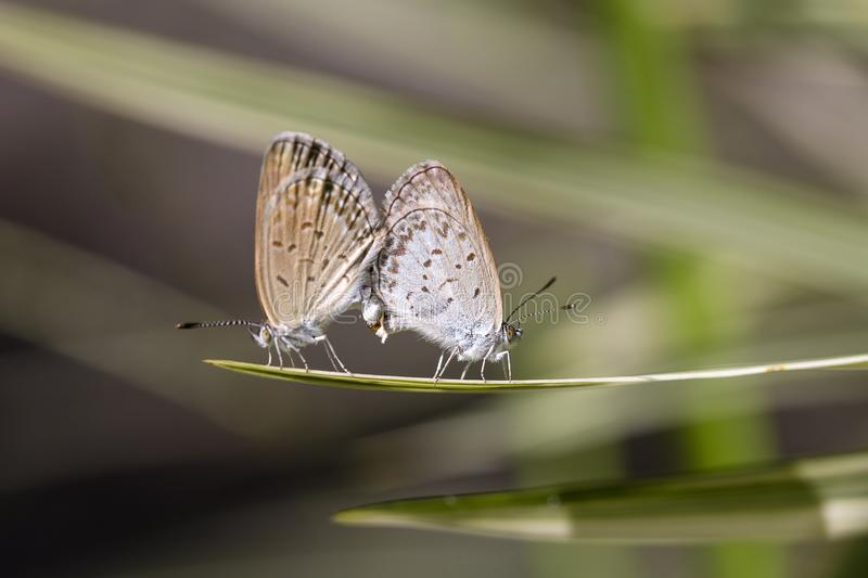 Love couple butterfly, mating pair of butterflies, close up. Bali, Indonesia stock photography