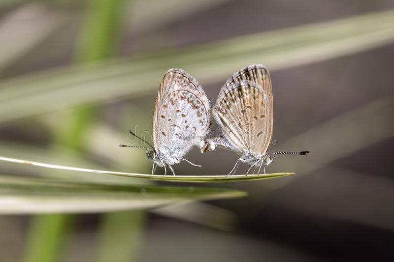 Love couple butterfly, mating pair of butterflies, close up. Bali, Indonesia royalty free stock photo