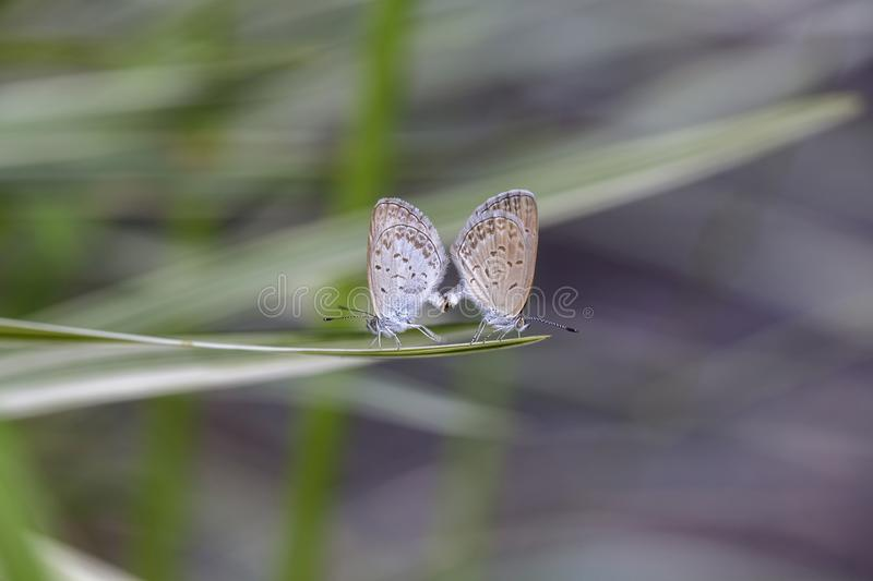 Love couple butterfly, mating pair of butterflies, close up. Bali, Indonesia stock images