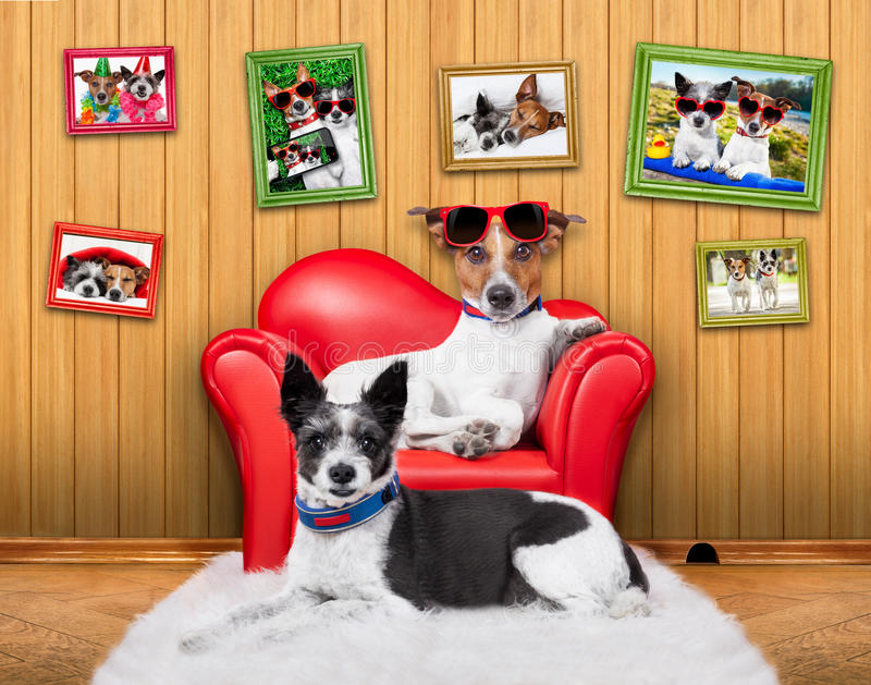 Love couple sofa dogs. Love couple of dogs sitting on a sofa with sunglasses am close together wearing red sunglasses royalty free stock photography