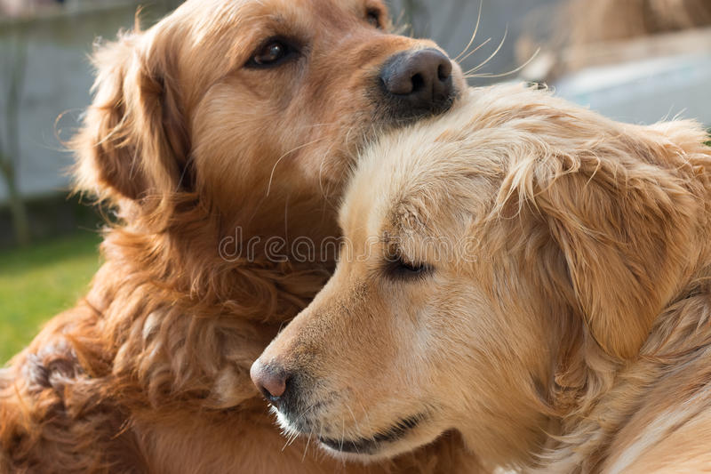 Love between dogs. They support each other all the time stock image