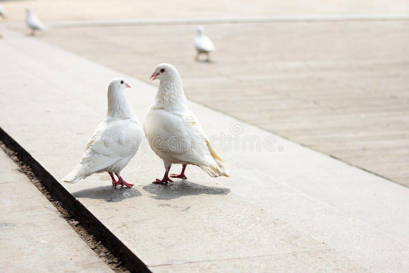 Love of dove. In love dove, look at each other royalty free stock photos