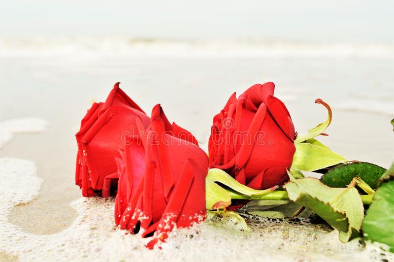 Love expectations. Red roses on the sand, in the foam of a wave, suggesting romanticism, love and love expectations royalty free stock images