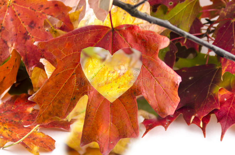 Love Fall with a heart cut into the leaf. Beautiful colors of the fall. Maple tree leaves with a heart, with love as a metaphor cut out in a leaf concept of the royalty free stock images