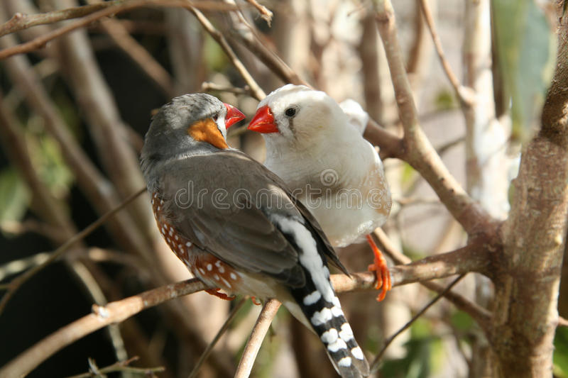Love Finches. Two Zebra Finches gaze at each other as love birds. The birds are posed in a natural habitat background royalty free stock image