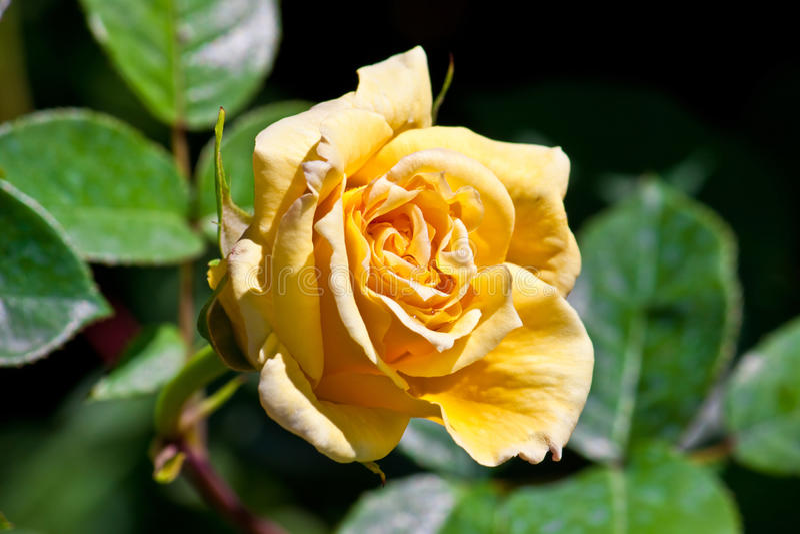 Love flower royalty free stock image