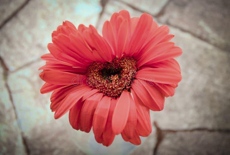 Love flower. Beautiful flower in heart shape royalty free stock images