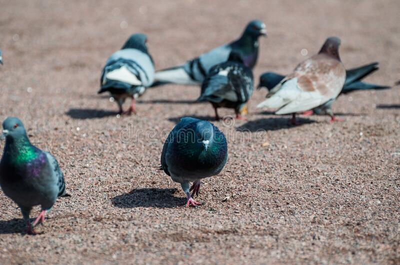 Love games of pigeons one warm spring day basic in focus. The rest blurred stock photography
