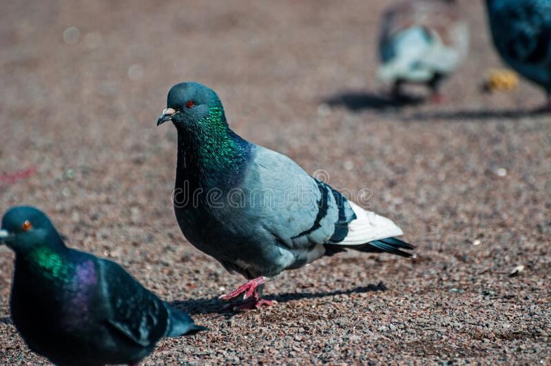 Love games of pigeons one warm spring day basic in focus. The rest blurred stock image
