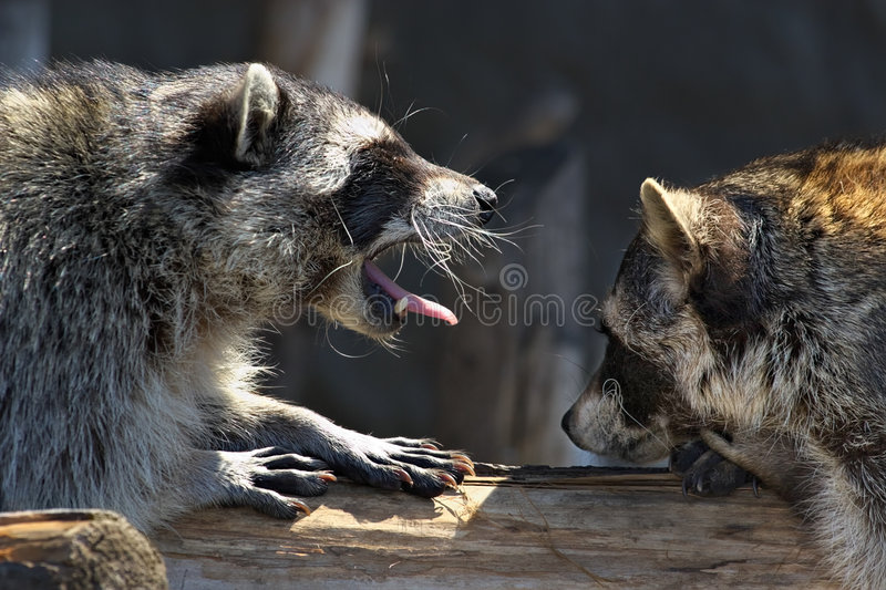 Download Love games of raccoons stock photo. Image of animal, mammal - 2238140