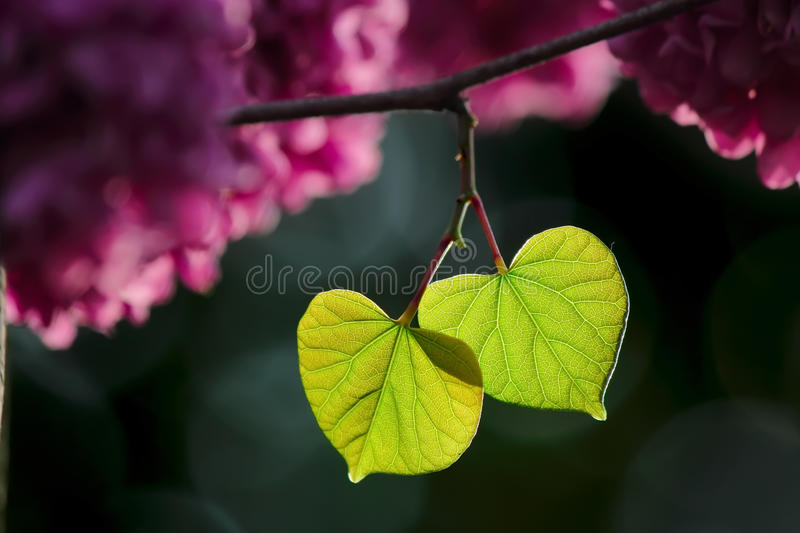 Love the green leaves. Green leaves, like two hearts stock photo