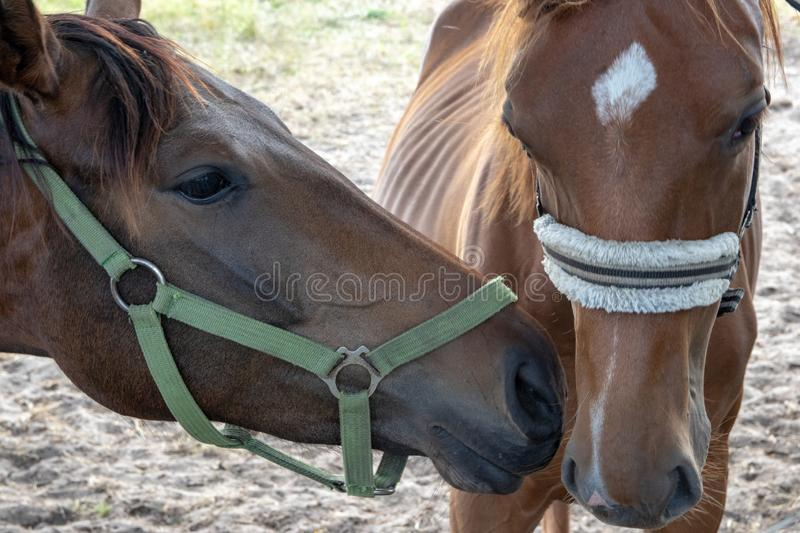 Love between horses. The image shows the greet tender love between two horses on the pasture. Side and front view portrait of royalty free stock image