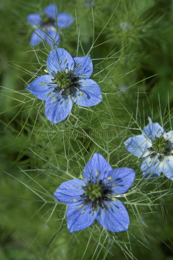 Free Love-in-a-Mist Stock Photos - 304123