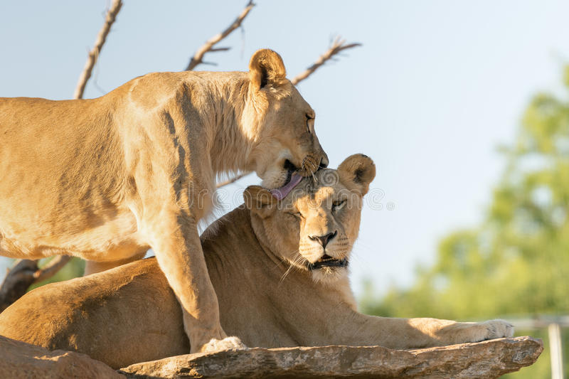 The love of the lions. stock image