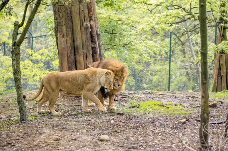 Love. Ly couple of lions in tenderness royalty free stock image