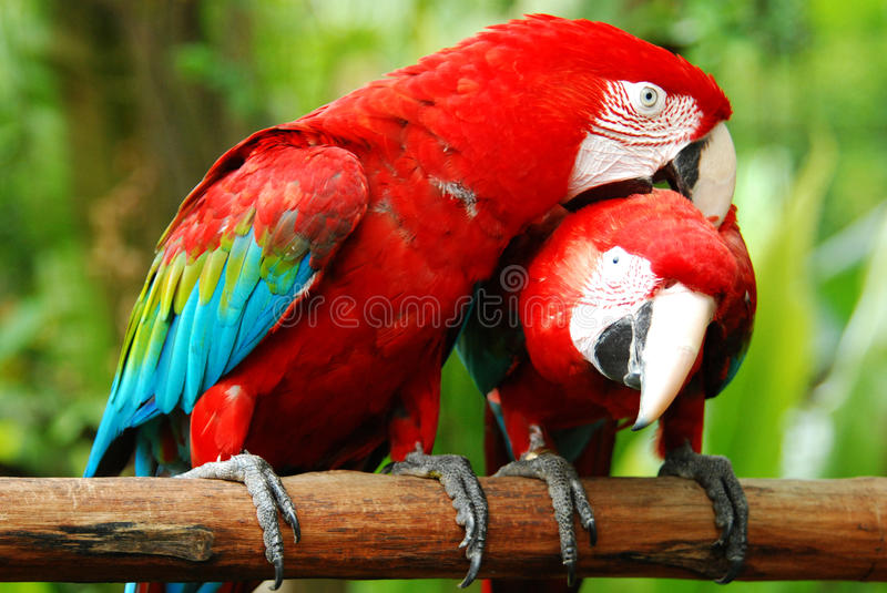 Love macaw birds royalty free stock photography