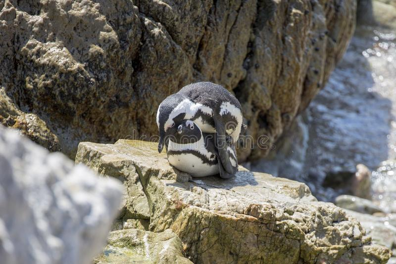 Love making African Penguins stock photo