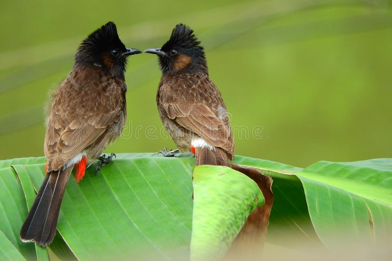 Love Making Birds. Two beautiful birds are busy in making love in spring time. Like men the birds also make love stock photos
