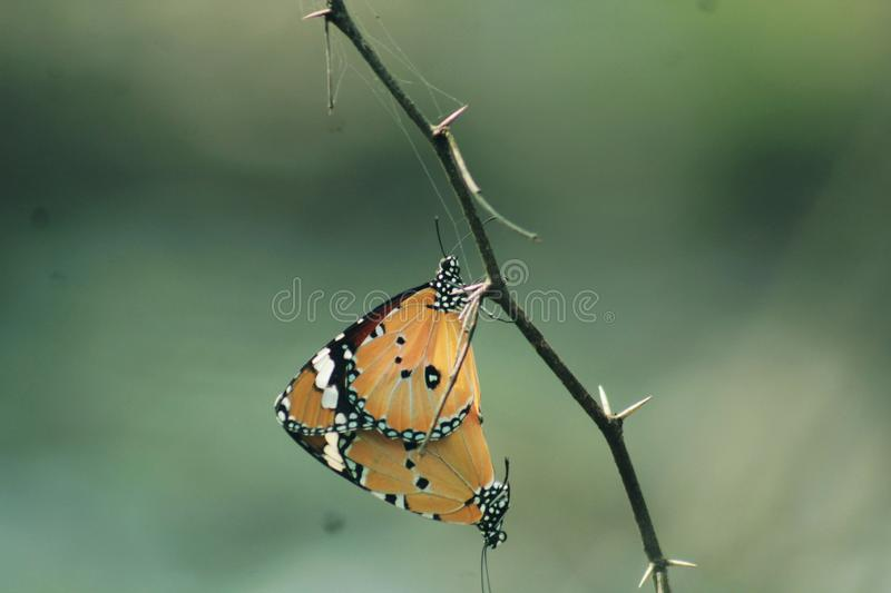 Love. Mating of asian butterfly in the woods ! Nature connects us all it implies , i took this photograph in my canon 1300d stock photos