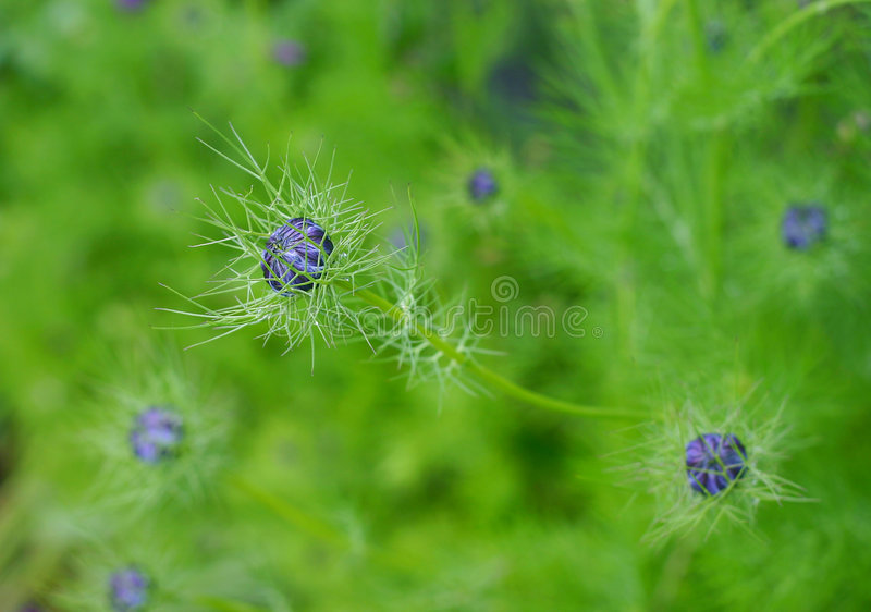 Love in a mist. Flower buds; nigella; dainty and ferny foliage; background royalty free stock photos