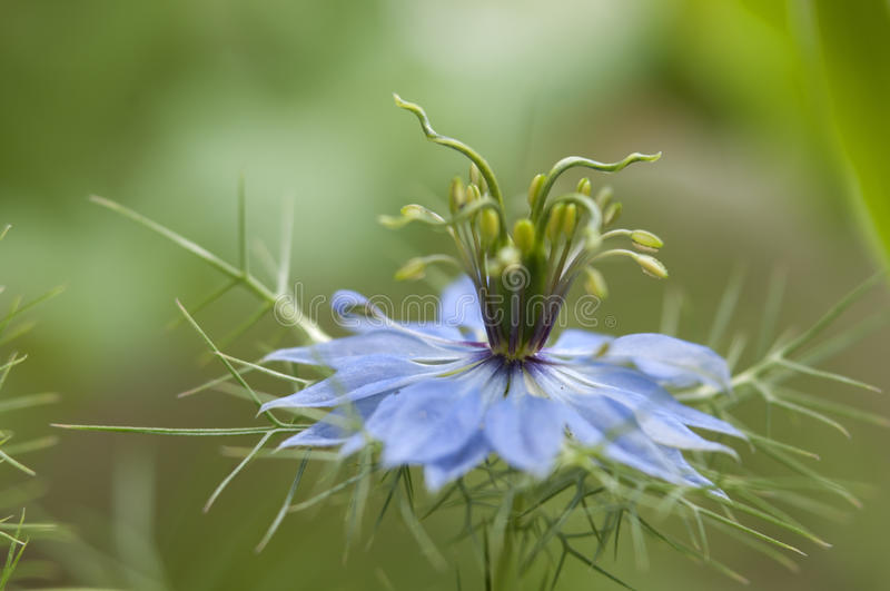 Download Love-in-a-mist flower stock photo. Image of clean, stem - 29256506