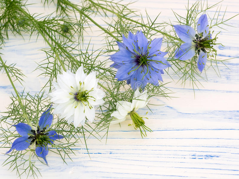 Love-in-a-mist flowers on a white wooden board. Love-in-a-mist Nigella damascena is a charming old-fashioned annual in the buttercup family, blooming in spring stock photo