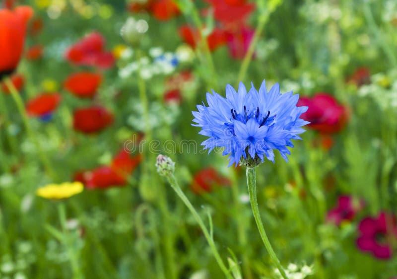 Love-in-a-mist o flor azul del damascena del nigella imagen de archivo