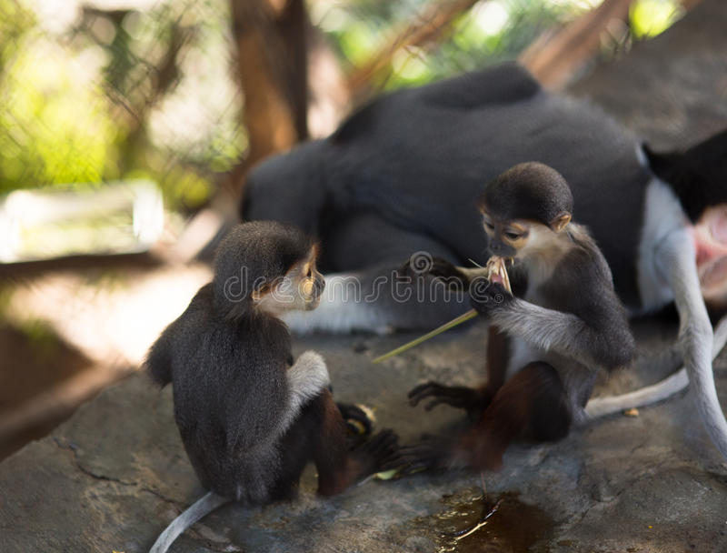 Love, monkey Babes eat, monkeys play next to mother. Young monkeys play and cuddle next to mother, cubs of a monkey eats, monkey Babes eat royalty free stock images