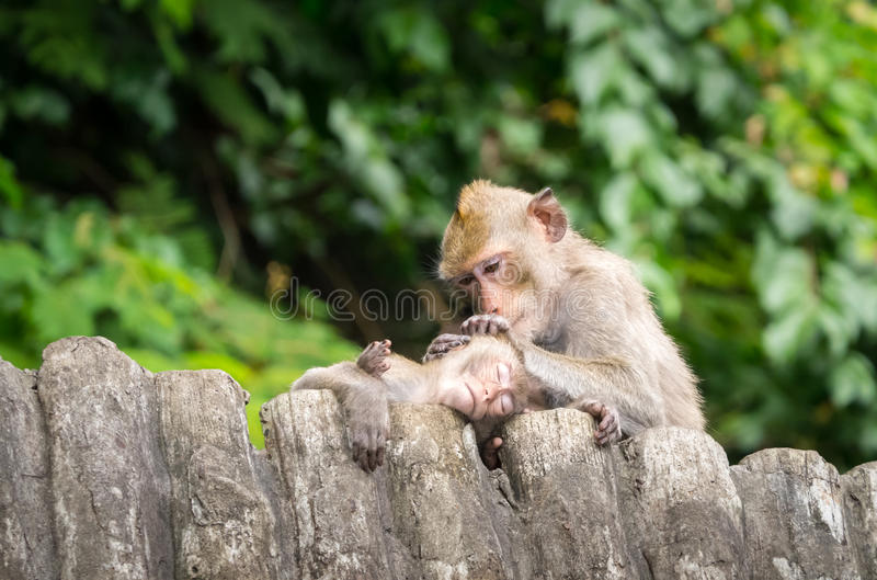Love of the mother. Baby monkey is taken care by his mother, removing pests from his head, while sleeping stock photography