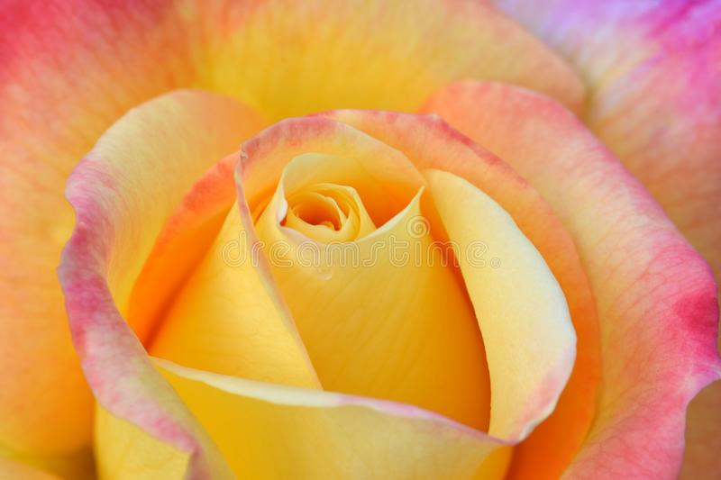 Love and Peace Rose 01. Love and Peace variety, yellow with pink highlights, Rose flower swirl royalty free stock photography