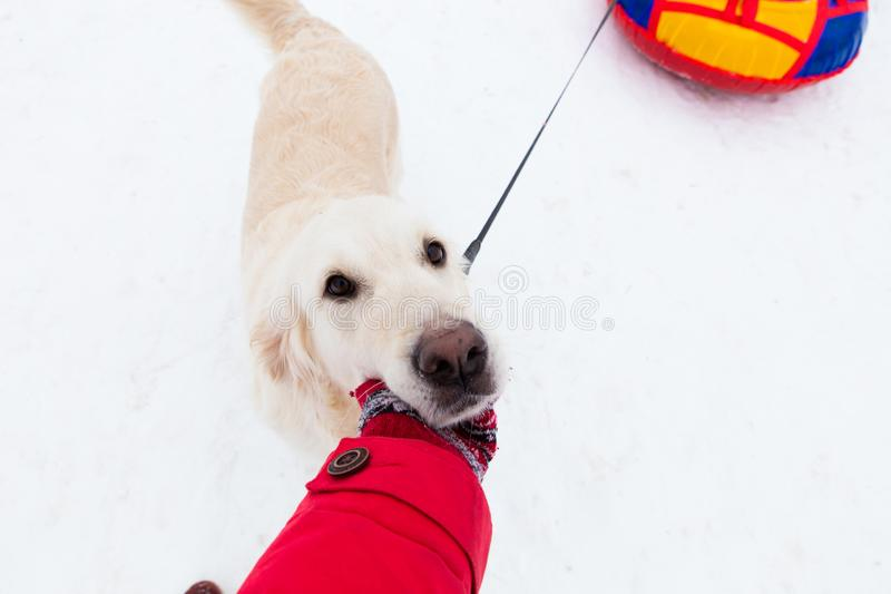 Love for pets - selfie-portrait of a beautiful big dog on a winter walk stock photography