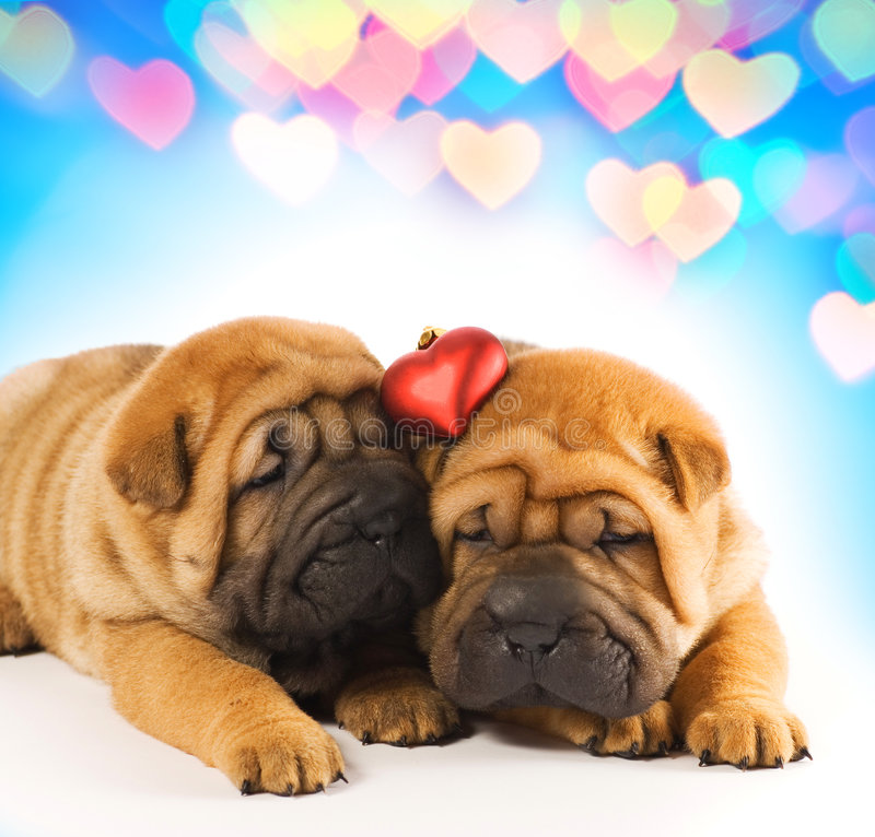 love puppies sharpei 库存图片