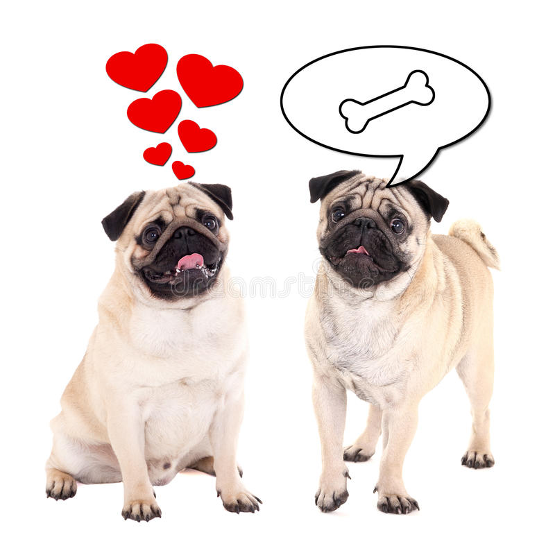 Love and relationship concept - two cute pug dogs over white stock photography