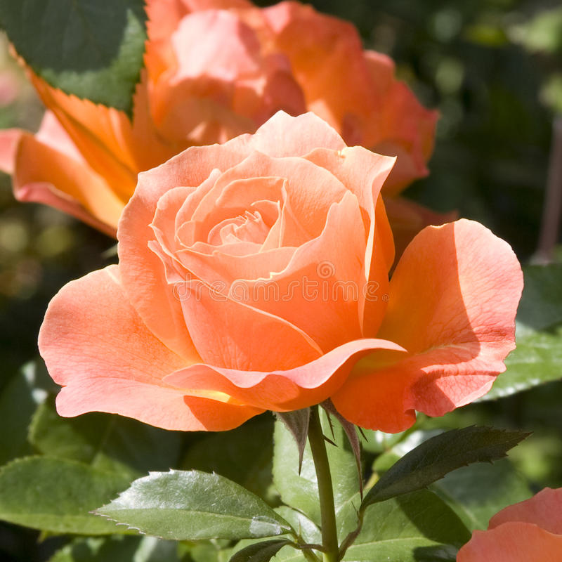 Love of rose stock photos